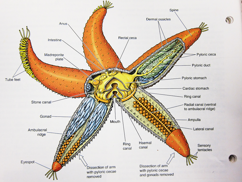 starfish internal anatomy diagram human anatomy diagram #3